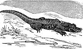 American Alligator engraving, or Alligator Mississippiensis.