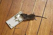Dead Mouse In Trap