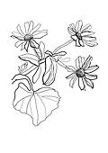 drawing camomile