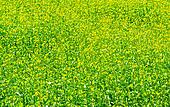 Green meadow with blossoming plants of mustard.