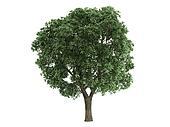 Elm or Ulmus