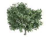Olive or Olea europaea