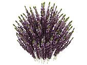 Heather or Calluna