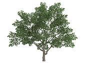 Sweetbay magnolia or Magnolia virginiana