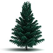 Single Spruce Pine Tree