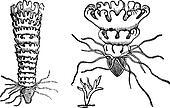 Life cycle of a Jellyfish or Aurelia vintage engraving