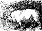 The Babirusa or Pig-deer. Vintage engraving.