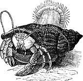 Hermit crab dragging Sea anemones, vintage engraving.