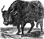 The American bison or American buffalo. Vintage engraving.