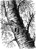 White Birch or Betula papyrifera, tree, trunk, vintage engraving.