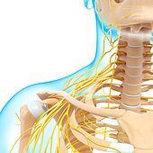 nervous system of human shoulders