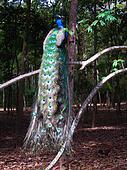 peacock on tree