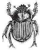 Ateuchus, vintage engraving.