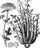 Celery or Selinon vintage engraving