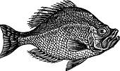 Centrarchus aeneus or rock bass fish vintage engraving