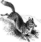Golden jackal or Canis aureus vintage engraving