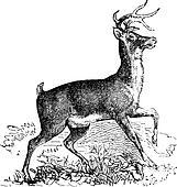 Whitetail or Virginia deer vintage engraving