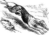 English Greyhound vintage engraving