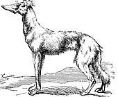 Persian Greyhound vintage engraving