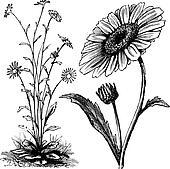 Chrysanthemum sp. vintage engraving