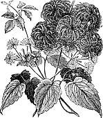 Devil's Darning Needles or Devil's Hair or Love Vine or Traveller's Joy or Virgin's Bower or Virginia Virgin's Bower or Wild Hops or Woodbine or Clematis virginiana vintage engraving