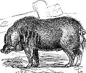 Curly-hair Hog or Mangalitsa or Mangalitza or Mangalica or Sus bucculentus vintage engraving