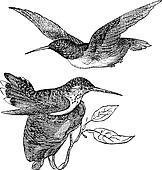 Anna's Hummingbird or Calypte anna vintage engraving