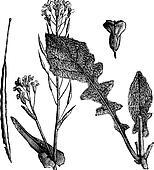 Field Mustard or Turnip Mustard or Brassica rapa or Brassica campestris esculenta vintage engraving