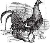 Gamecock or Game Rooster or Game Cockerel or Gallus gallus