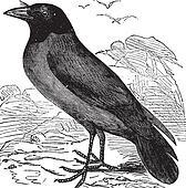 Hooded Crow or Hoodiecrow or Corvus cornix vintage engraving