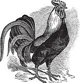 Rooster or Cockerel or Cock or Gallus gallus vintage engraving