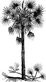 Palmetto or Cabbage Palm or Cabbage Palmetto or Palmetto Palm or Sabal Palm or Sabal palmetto vintage engraving