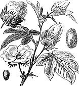 Pima Cotton or South American Cotton or Creole or Sea Island Cotton or Egyptian cotton or Gossypium barbadense vintage engraving