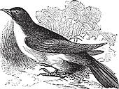 Yellow-billed Cuckoo or Rain Crow or Storm Crow or Coccyzus americanus vintage engraving