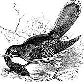 Falcon or Falco sp. vintage engraving