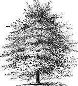 Italian Cypress or Cupressus sempervirens horizontalis, vintage engraving