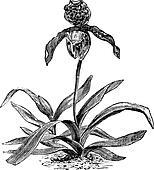 Paphiopedilum Orchid or Paphiopedilum exul, vintage engraving
