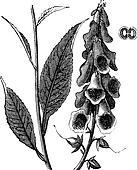 Purple Foxglove or Common Foxglove or Lady's Glove or Digitalis purpurea, vintage engraving