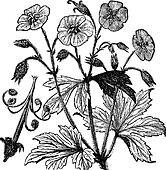 Spotted Geranium or Geranium maculatum vintage engraving