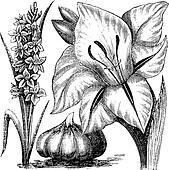 Gladiolus or sword lily vintage engraving