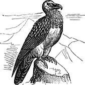 Bearded Vulture (Gypaetus barbatus) or Lammergeyer vintage engraving