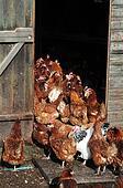Hens in hen house
