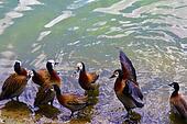 Portrait of group of ducks