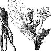 Mandrake root or Mandragora officinarum vintage engraving