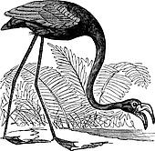 Common Flamingo or Phoenicopterus sp. or Phoenicoparrus sp., vintage engraving