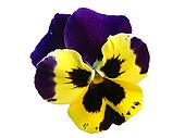 A yellow and purple isolated pansy