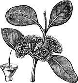 Bell-fruited Mallee or Eucalyptus preissiana, vintage engraving