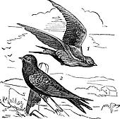 Common Swift or Apus apus vintage engraving
