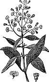 Allspice or Jamaica Pepper or Kurundu or Myrtle Pepper or Pimenta or Newspice or Pimenta dioica, vintage engraving
