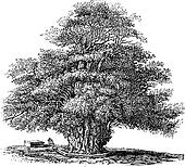 Yew tree or Taxus baccata at St. Helens church in Darley Derbyshire England vintage engraving